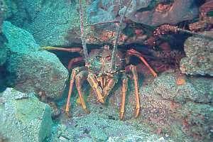 1000  images about Crabby Crustacians on Pinterest | Shrimp ...